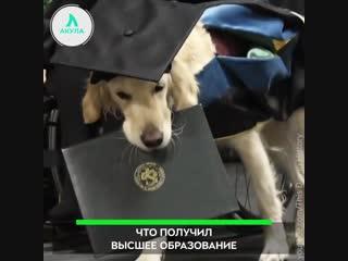 Пес с высшим образованием | АКУЛА