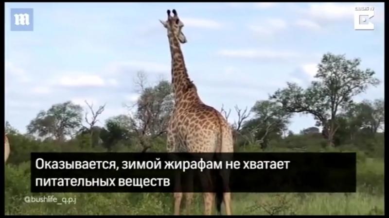 Жираф жующий кость