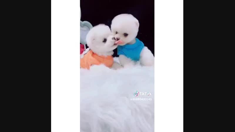 Милые собачки целуются
