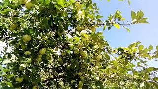 В гостях у Матушки Природы чувствуешь себя Хозяйкой Земли. Мы собрали яблоки и дикие сливы.