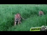 Красивые какие, мои малышки: тигры оценили ласковое обращение