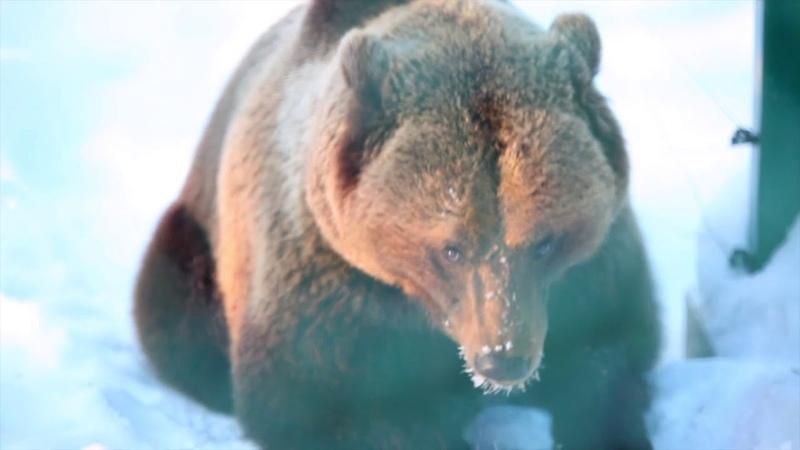 Первая встреча медведя Мансура с человеком в 2019г