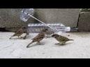 Armadilha com garrafa d'água para pegar pássaro pardal