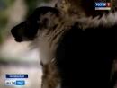 Исходы футбольных матчей предсказывает лемур из екатеринбургского зоопарка