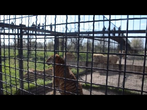 Разборки после выхода молодых львов в саванну!