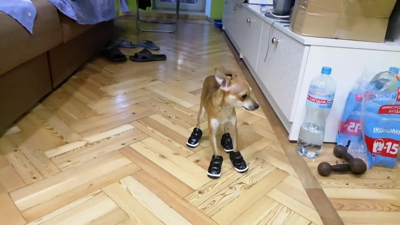 Ржу не могу! Собака учится ходить в обуви. Ржака. Ха ха