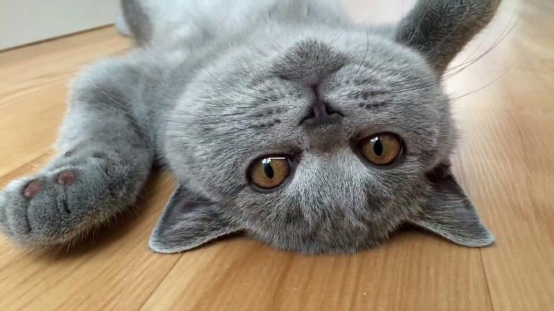 КОТЁНОК ВЗРОСЛЫЙ британский котBritish Cat Harry