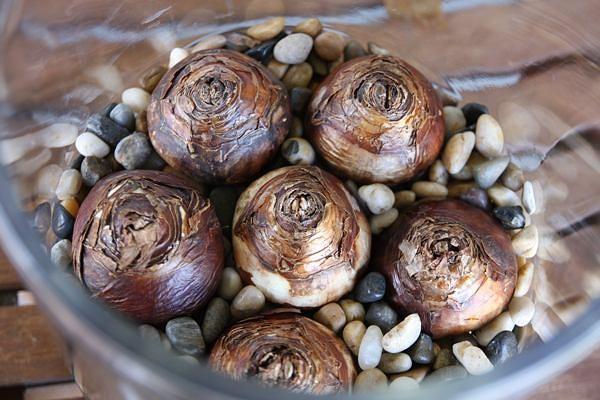 Как вырастить тюльпаны и нарциссы в домашних условиях!