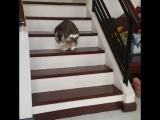 Кот без передних лап