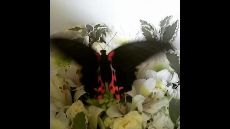 Бабочка Парусник Румянцева (Барселона)