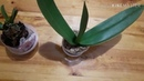 Как я избавилась от плесени на орхидее. Беглый орхообзор... ванды, ваниль, аэрангис...