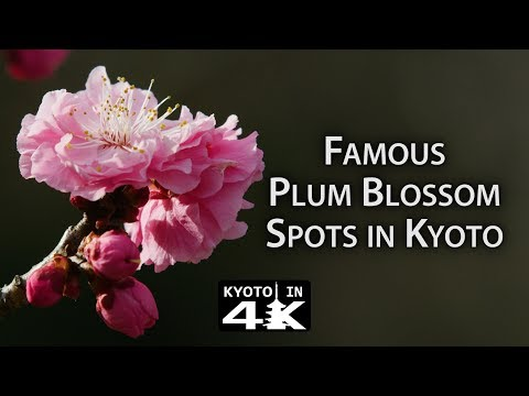 Beautiful Kyoto: Plum Blossom Viewing Spots (Kitano Tenmangū, Jōnangū Zuishin-in) [4K]