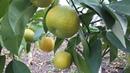 Интересный сорт цитрусовых, кровавый клементин АМОА 8