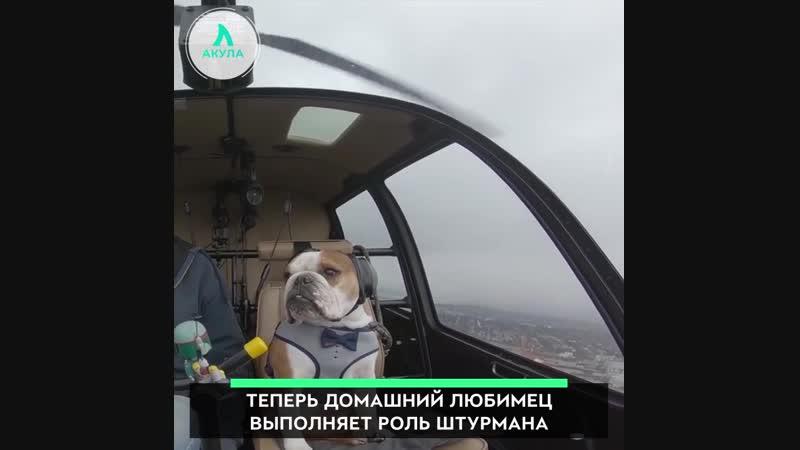 Собака пилот | АКУЛА