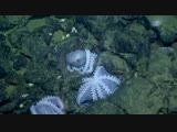 Massive Aggregations of Octopus Brooding Near Shimmering Seeps - Nautilus Live