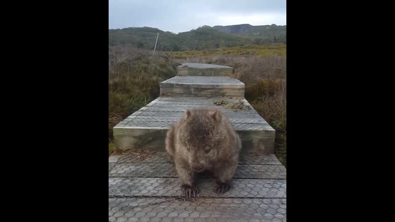 Hiker's Path Through the Cradle Mountains Blocked by Wombat With an Itchy Bum