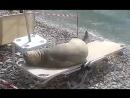 Тюлень загорает на шезлонге