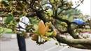 Hoa mai độc lạ quý hiếm và duy nhất ở Việt Nam Xuân Mậu Tuất 2018