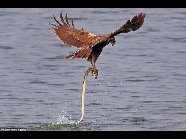 Cá mập vs Rắn Độc ⇶ Đại Bàng Bắt Trộm Con Mồi NTN - Eagle vs Raptor vs Orprey Compilation