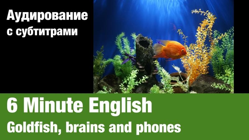 6 Minute English — Goldfish, brains and phones | Суфлёр — аудирование по английскому языку