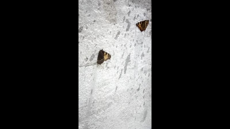 Бабочки обманщицы
