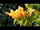 Декоративные растения тополь мимоза пиростегия нандина домбея остеоспермум 02 2019