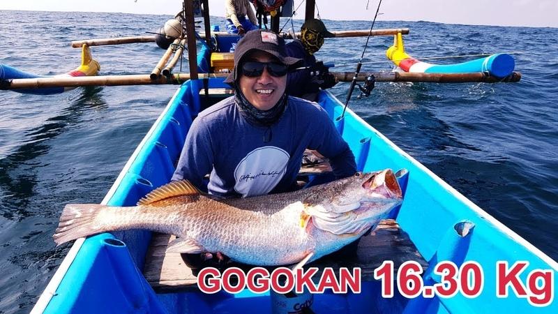 Mantap Strike Ikan Gogokan Berat 16,30KG Perairan Cilacap