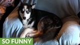 Husky told to get off chair, throws massive temper tantrum