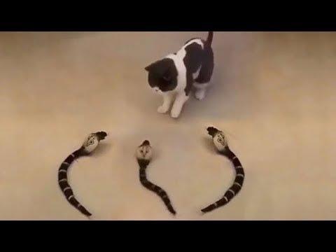 「귀여운 고양이」웃지 않으려 노력하십시오 - 가장 웃긴 고양이 영화 23