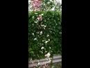 Вот так красиво летят в компостную яму отцветающие розы