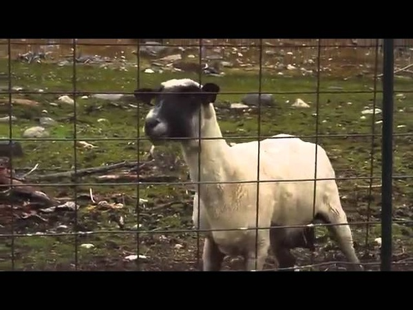 Кричащая овца!