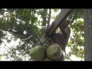 Обычай учить обезьян собирать кокосы существует в таких странах Юго-Восточной Азии, как  Таиланд, Филиппины, Малайзия, Бруней и