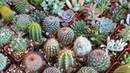Exotic Cactus CollectionVarieties Of CactusCactus Collection Library