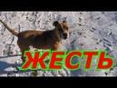Собачий бой, бойцовской собаки VS 2-х маленьких дворняг, Клеймо на Стаффоршире