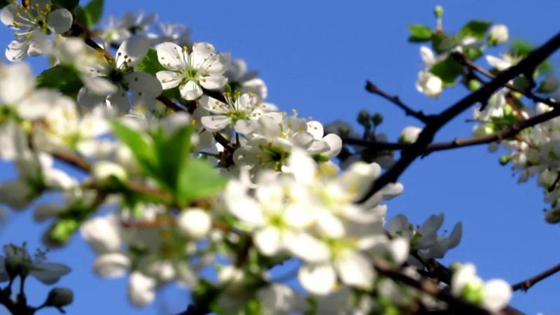 вишня и барвинок цветение