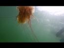 Сегодня нырял за моллюсками - повстречал медузу-цианею