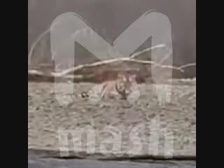 В Хабаровском крае местные помогли амурскому тигру