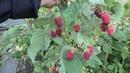 РУБИНОВОЕ ОЖЕРЕЛЬЕ, очень красивый сорт ремонтантной малины