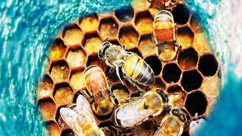 ЧТО ВНУТРИ ПЧЕЛИНОГО УЛЬЯ? Глазами пчёл