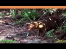 شاهد كيف تستمتع النموس بأكل الأفاعي وصيدها !! مشاهد روعة وممتعة
