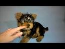 Масик 2 месяца щенок йоркширского терьера