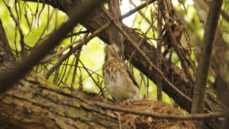 Птенцы дрозда-рябинника