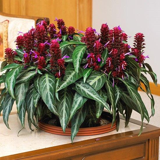 порфирокома порфирокома (лат. porphyrocoma) — травянистое, цветущее растение относится к семейству акантовых. порфирокома это компактный многолетник с прямостоячим полуодревесневшим стеблем,
