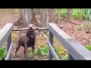 Собакен переносит палку через узкий мост
