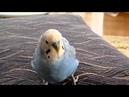 Японский попугайчик Мейко репует