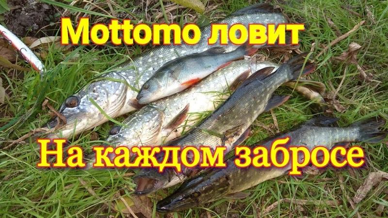 Рыбалка осенью на спиннинг Воблер Mottomo ловит щук на ура! Лучшая приманка на хищника