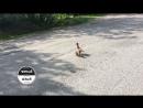 Мама-утка переводит утят через дорогу