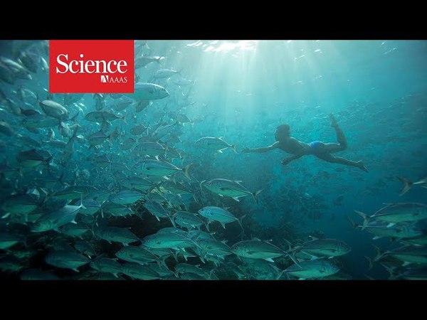 Indonesian divers have evolved bigger spleens to hunt underwater
