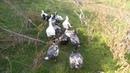 Мускусные утки на выгуле