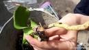 Орхидеи по 50р или как я пытаюсь спасти умирающии орхидеи